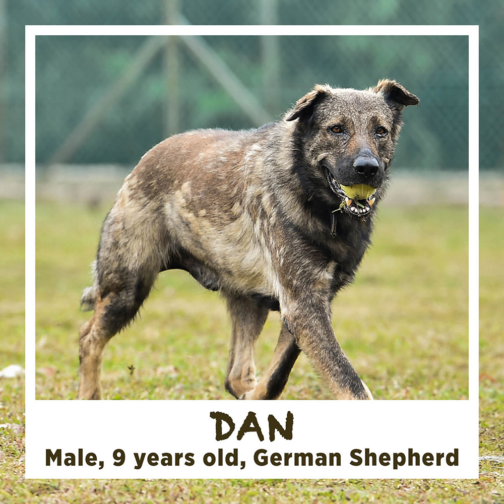 DAN, Male, 9 years old, German Shepherd