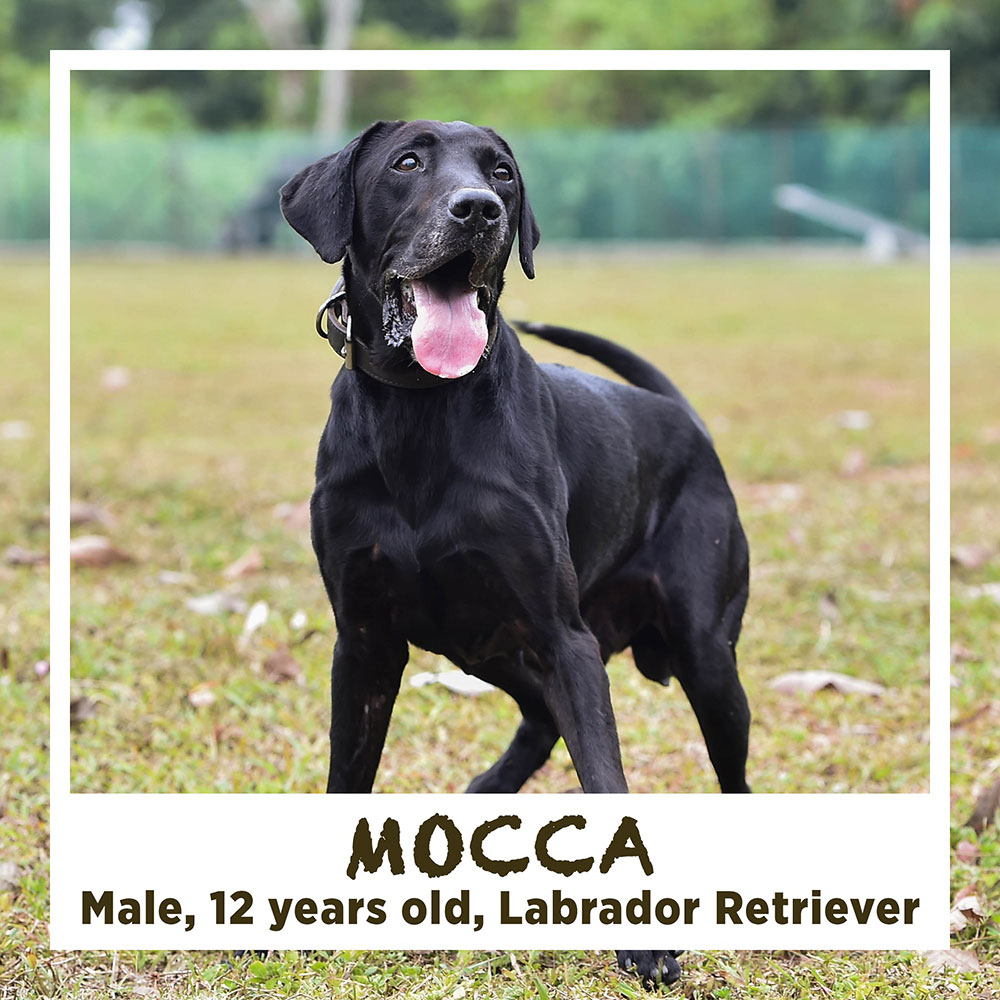 MOCCA*, Male, 12 years old, Labrador Retriever