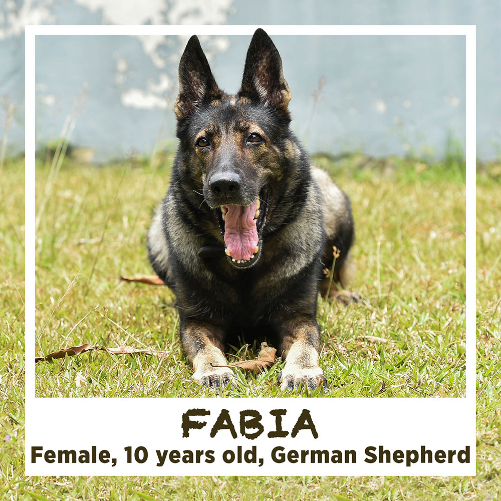 FABIA, Female, 10 years old, German Shepherd