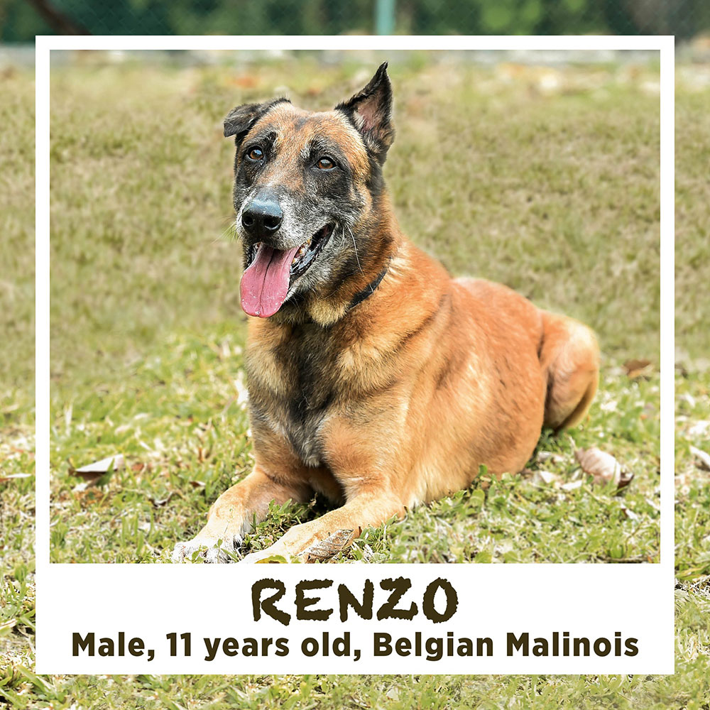 RENZO, Male, 11 years old, Belgian Malinois