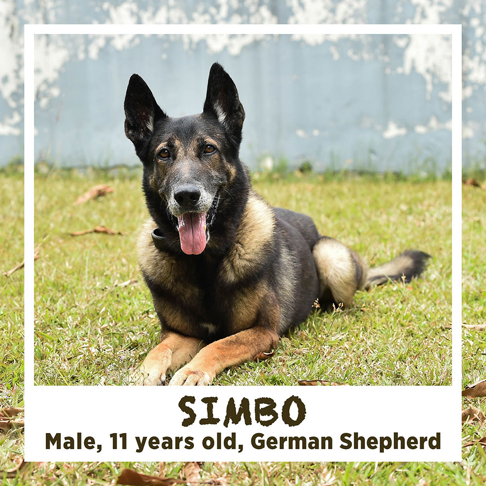 SIMBO, Male, 11 years old, German Shepherd