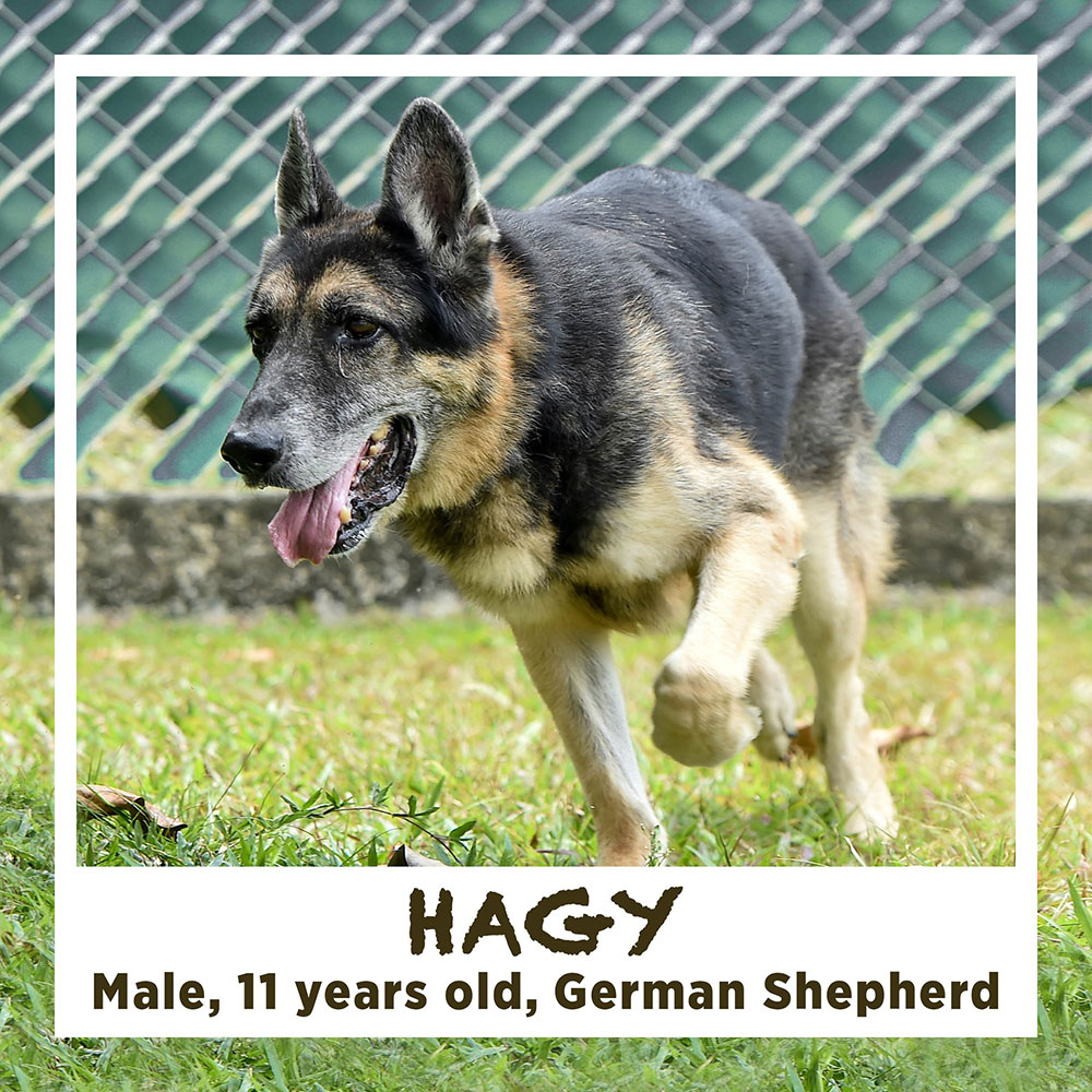 HAGY, Male, 11 years old, German Shepherd