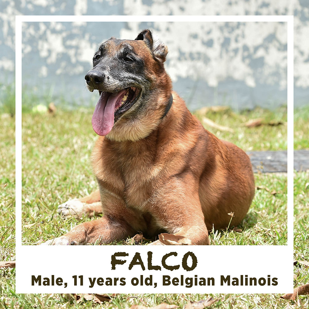 FALCO, Male, 11 years old, Belgian Malinois