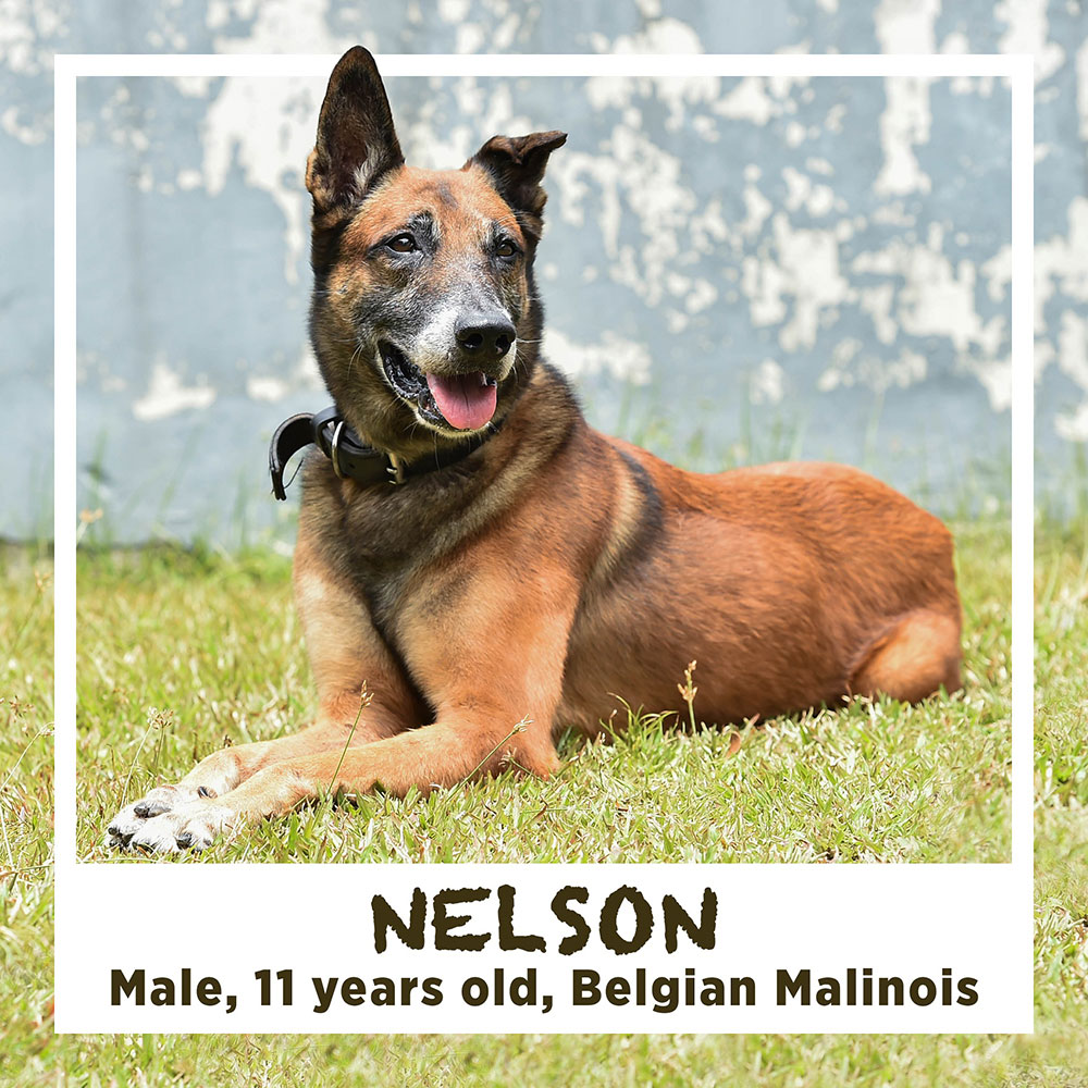 NELSON, Male, 11 years old, Belgian Malinois